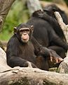 Hello, Human... (SINGAPORE ZOO-CHIMPANZEE-ANIMALS-GREETING) VI (767256229).jpg