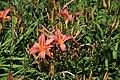 Hemerocallis Neyron Rose in Jardin botanique de la Charme 04.jpg