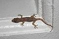 Hemidactylus mabouia in Picard, Dominica 08.jpg