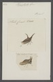 Hemiptycha - Print - Iconographia Zoologica - Special Collections University of Amsterdam - UBAINV0274 042 04 0014.tif