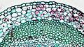 Herbaceous Dicot Stem Endodermis in Late Season Trifolium (36732856890).jpg