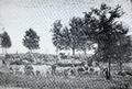 Herd of Cows Clemson 1896.png