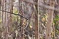 Hermit thrush (20308418020).jpg