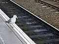 Herring gull beside tracks at Dundee Railway Station.jpg