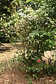 Hibiscus Rosa Sinensis 01.jpg