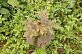 Hibiscus acetosella 9611.jpg