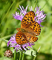 High Brown Fritillary. Argynnis adippe. Male (15969624390).jpg