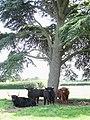 Highland Cattle - geograph.org.uk - 514344.jpg