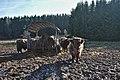 Highland cattle in Fagne Tirifaye, Waimes, Belgium (VeloTour intersection 80, DSCF3654).jpg