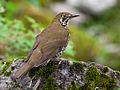 Himalayan Forest Thrush or Zoothera salimalii.jpg