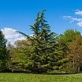 Himalayazeder QAV-Park (Umkirch) jm28305.jpg