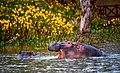 Hippopotamuses , Lake Naivasha (30676515958).jpg