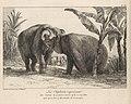 Histoire Naturelle Des Deux Éléphans...du Muséum De Paris MET DP259082.jpg