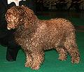 Hiszpański pies wodny 666.jpg