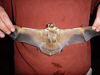 A hoary bat with wings spread out.
