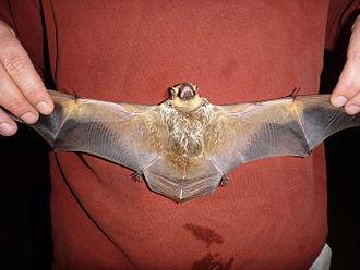 Hoary bat - Image: Hoary bat adult