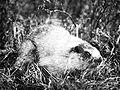 Hoary marmot 1926.jpg