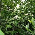 Holarrhena pubescens W IMG 0298.jpg