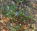 Hormuzakia-aggregata-Wikipedia-001i.jpg
