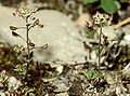 Hornungia petraea2 eF.jpg
