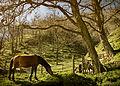 Horses in Prevalla village.jpg