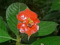 Hot Lips (Psychotria poeppigiana) (6783246889).jpg