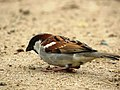House Sparrow IMG 2603.jpg