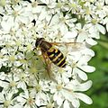 Hoverfly (Syrphus??) near Beeston, Bedfordshire (14188967870).jpg