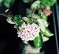 Hoya compacta (inflorescence) 01.jpg
