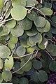 Hoya obovata 1zz.jpg