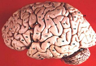 Inferior frontal sulcus - Image: Human brain lateral view description 2