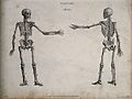 Human skeleton with left arm extended; front and back views. Wellcome V0008012.jpg