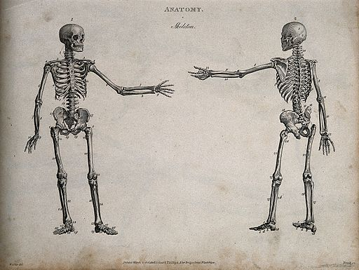 Human skeleton with left arm extended; front and back views. Wellcome V0008012