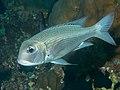 Humpnose bigeye bream (Monotaxis grandoculis) (32168522677).jpg