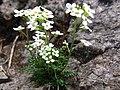 Hutchinsia alpina a3.jpg