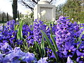 Hyacinths at Regent's Park in March 2012.jpg
