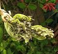 Hyadaphis leaf damage.jpg