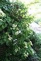 Hydrangea anomala petiolaris 14zz.jpg