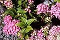 Hydrangea macrophylla Pink Elf 2zz.jpg