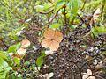Hydrangea petiolaris 2017-04-30 8918.jpg