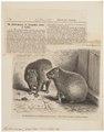 Hydrochoerus capybara - 1700-1880 - Print - Iconographia Zoologica - Special Collections University of Amsterdam - UBA01 IZ20600079.tif
