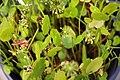 Hydrocotyle bonariensis 5zz.jpg