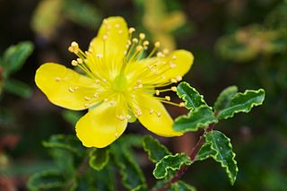 <i>Hypericum balearicum</i> species of plant