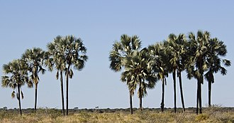 Hyphaene petersiana - Image: Hyphaene petersiana arbres MHNT