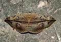 Hypopyra vespertilio by Dr. Raju Kasambe DSCN0468 (10).jpg
