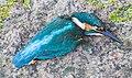 IJsvogel (Alcedo atthis). Raamslachtoffer. (d.j.b.) 01.jpg