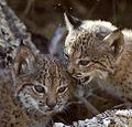 Iberian Lynx cubs.jpg