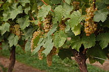 Ice Wine Vidal Grapes.jpg