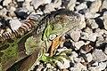 Iguana iguana on Sanibel Island, close up.JPG