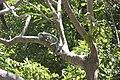 Iguane paisible et souriant aux Saintes - Guadeloupe.jpg